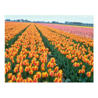 Orange Tulip fields, Holland flowers Postcard