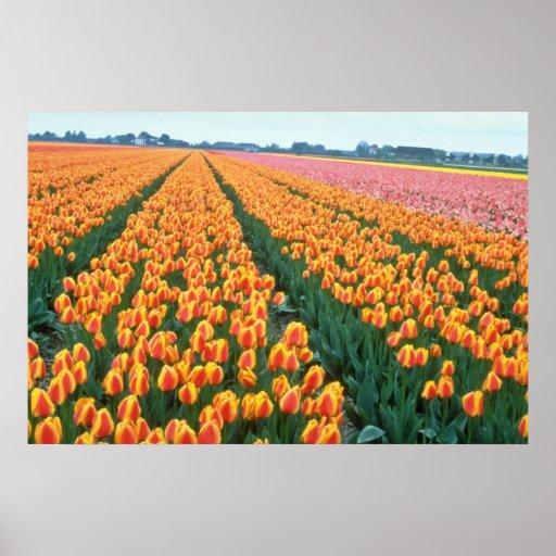 Orange Tulip fields, Holland flowers Poster