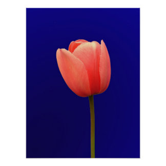 orange tulip flower in blue background posters