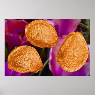 Orange Tulip seeds (Tulipa gesneriana) flowers Print