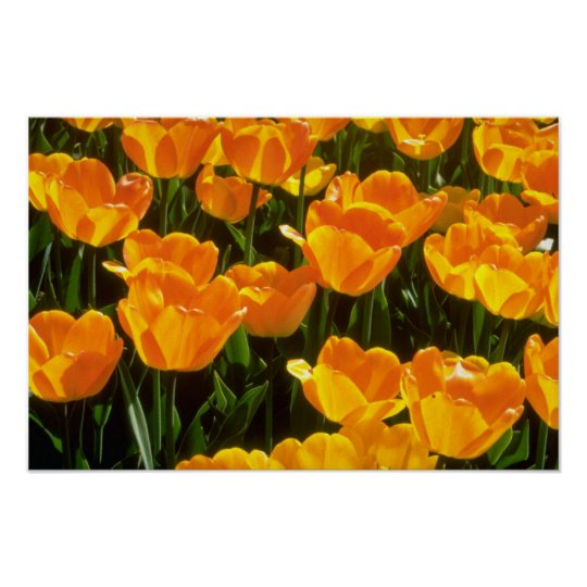 Orange Tulips flowers Poster
