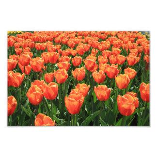 Orange tulips photograph
