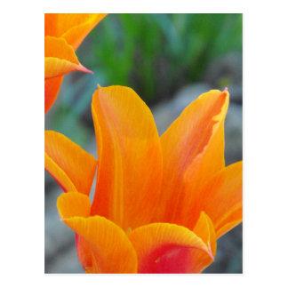 Orange Tulips Post Cards