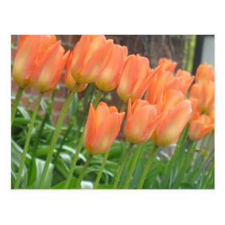 Orange Tulips Postcard