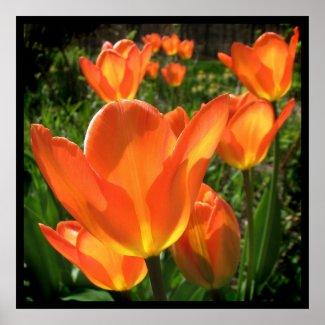 Orange Tulips print