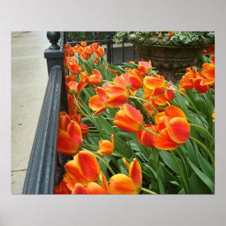 Orange Tulips Windswept After Rain 1 Poster