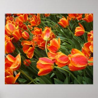 Orange Tulips Windswept After Rain 2 Poster