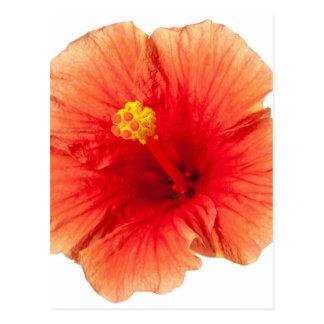 Orange Yellow Hibiscus Tropical Flower Hawaiian Postcard