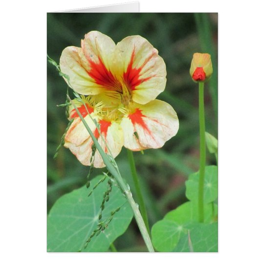 Orange Yellow Nasturtium Flower Card