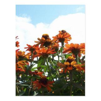 Orange Zinnas Against a Blue Sky Postcard