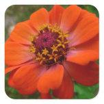 Orange Zinnia Square Sticker