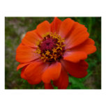 Orange Zinnia Wildflower Photo Poster