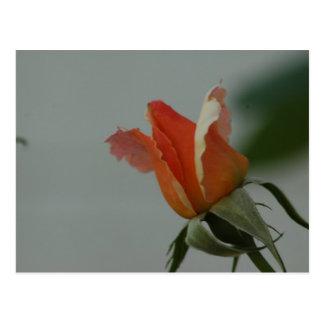 OrangeRose Postcard