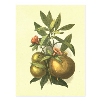 Oranges & Pomegranate Vinatge Lithograph Postcard