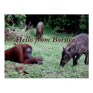 Orangutan Animal Borneo Postcard