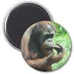 Orangutan Ape Magnet Magnet