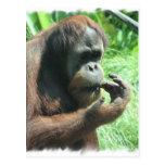 Orangutan Ape Postcard