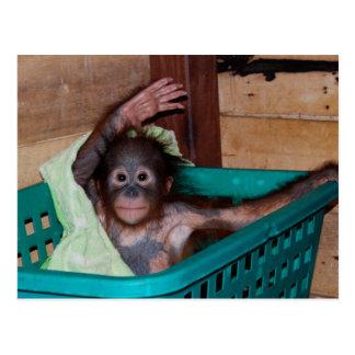 Orangutan at the Sanctuary Post Card