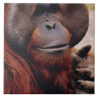 Orangután Azulejo Cuadrado Grande
