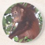 Orangutan Baby in Borneo Coasters
