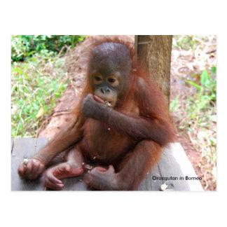 Orangutan Baby Orphan Eats Peanuts Postcard