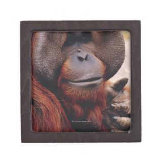 Orangután Caja De Regalo De Calidad