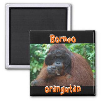 Orangután de Borneo en bosque Imán Cuadrado