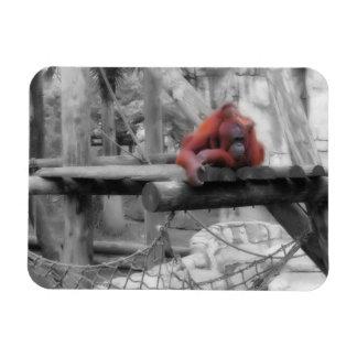 Orangután de la madre y del bebé iman rectangular