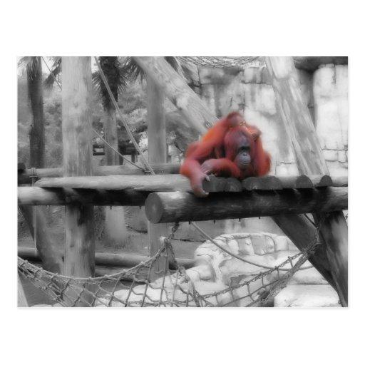 Orangután de la madre y del bebé tarjetas postales