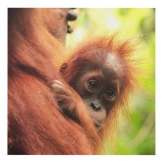 Orangután de Sumatran del bebé Cuadro