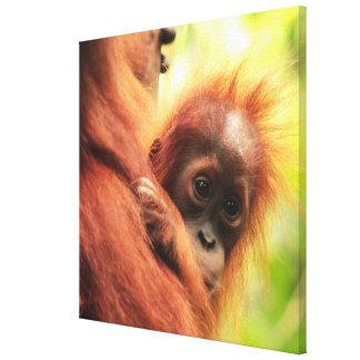 Orangután de Sumatran del bebé Impresión En Lienzo