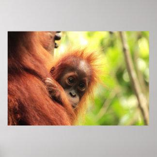 Orangután de Sumatran del bebé Póster