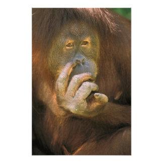 Orangután de Sumatran, o pygmaeus abelii. del pong Fotografías