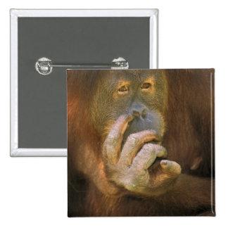 Orangután de Sumatran, o pygmaeus abelii. del pong Pin Cuadrado