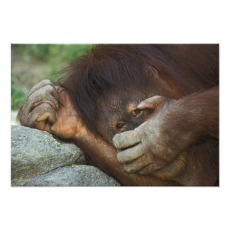 Orangután de Sumatran, pygmaeus del Pongo Fotografías