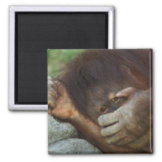 Orangután de Sumatran pygmaeus del Pongo Iman De Frigorífico