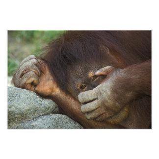 Orangután de Sumatran, pygmaeus del Pongo Arte Con Fotos