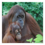 Orangután del bebé con el poster de la madre