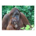 Orangután del bebé con la postal de la madre
