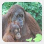 Orangután del bebé con los pegatinas de la madre calcomania cuadrada personalizada
