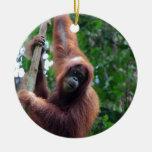 Orangután en la selva tropical de Sumatra Ornatos