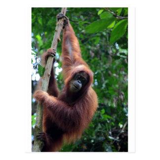 Orangután en la selva tropical de Sumatra Tarjeta Postal