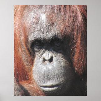 Orangutan Eyes Posters