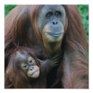 Orangutan Family Poster
