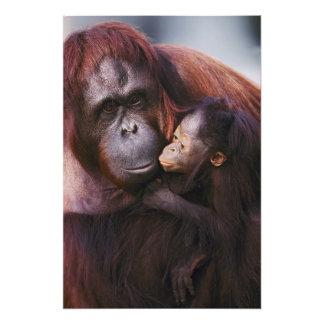 Orangután femenino de Sumatran con el bebé, Pongo Cojinete