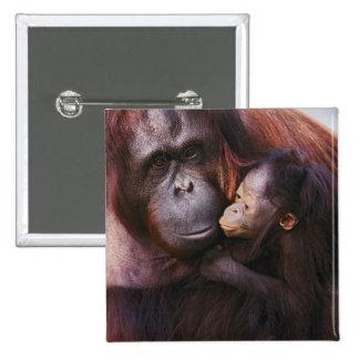 Orangután femenino de Sumatran con el bebé, Pongo Pin Cuadrado