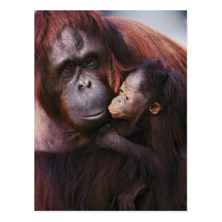 Orangután femenino de Sumatran con el bebé, Pongo Postales
