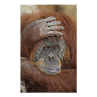 Orangután femenino de Sumatran, pygmaeus del Pongo Poster