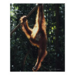 Orangutan Hanging on Liana 2 Poster
