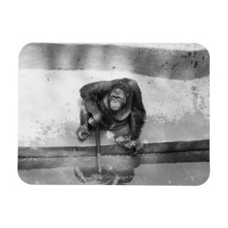 Orangután Imanes